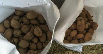 Patacas de semente gardadas nos sacos oficiais facilitados pola Xunta