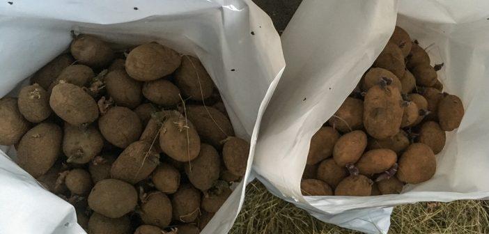 As patacas deben gardarse separadas e en sacos oficiais da Xunta, dispoñibles na Casa da Cultura