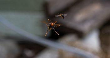 Momento en que unha velutina se dispón a cazar unha abella nun colmear de Naraío.