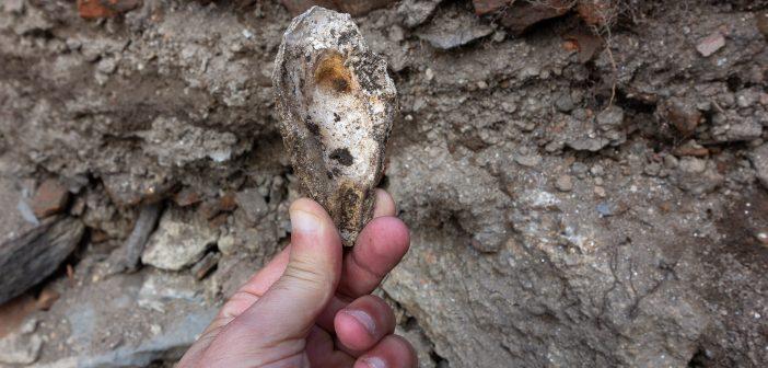Cuncha de ostra atopada nas escavacións realizadas no castelo de Naraío