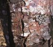 Detalle das esporas do fungo da Chryphonectria parasitica nun castiñeiro. (Foto: Paula Zamora -Tese doutoral ETS Enxeñerías Agrarias de Palencia)